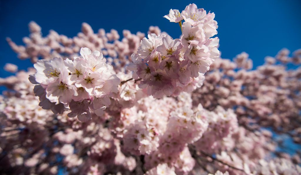During peak bloom, roughly 70 percent of the cherry blossoms unfurl their petals.