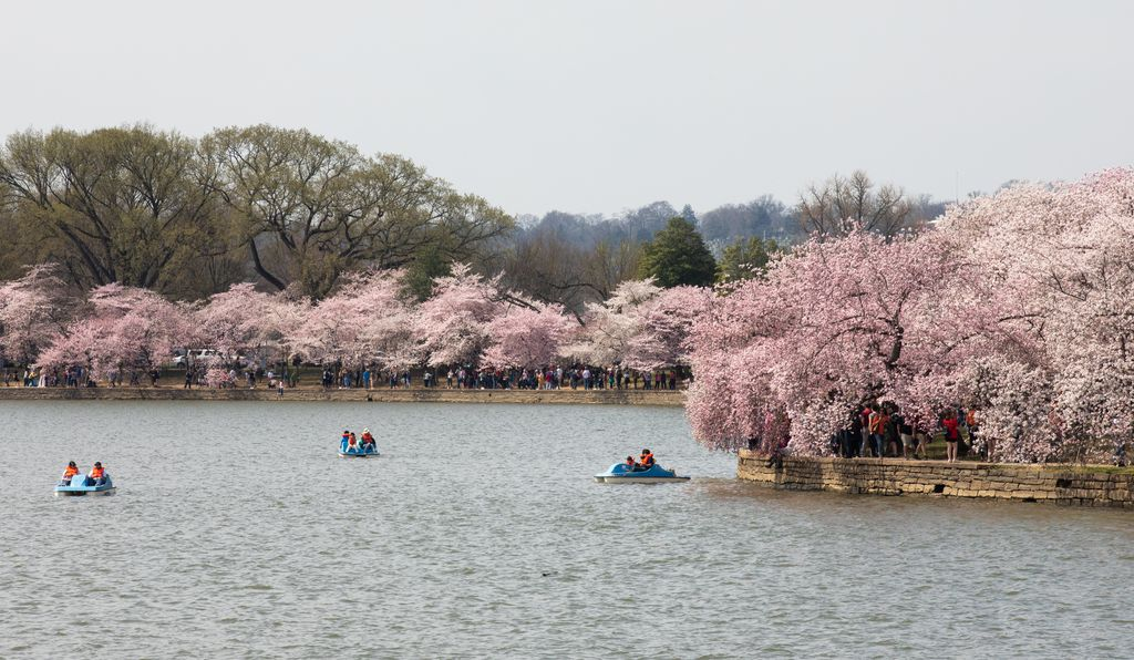 Paddleboats offer a view of the cherry blossoms from the water.
