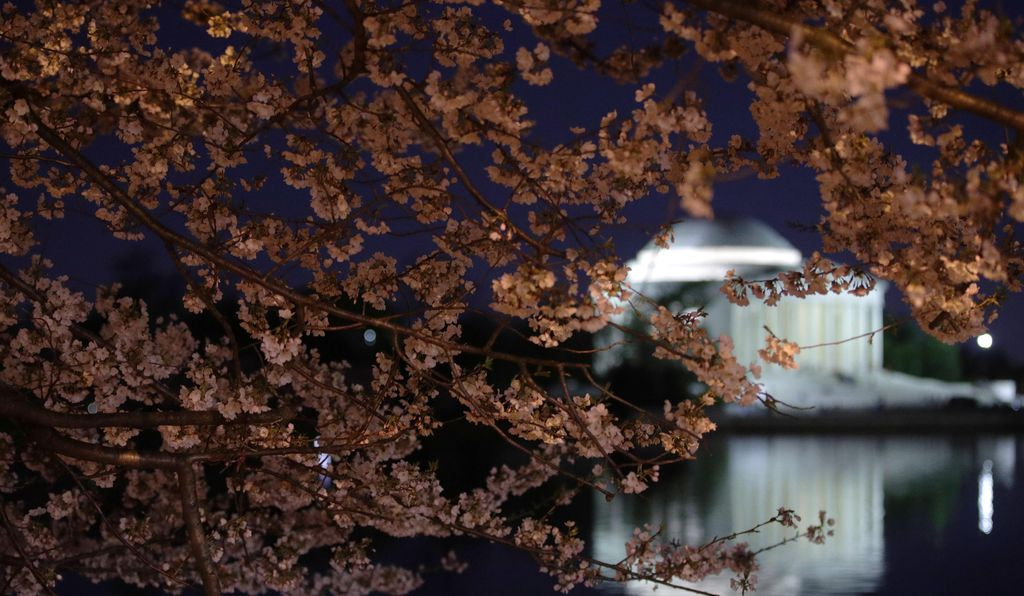 Thomas Jefferson Memorial and cherry blossoms by night