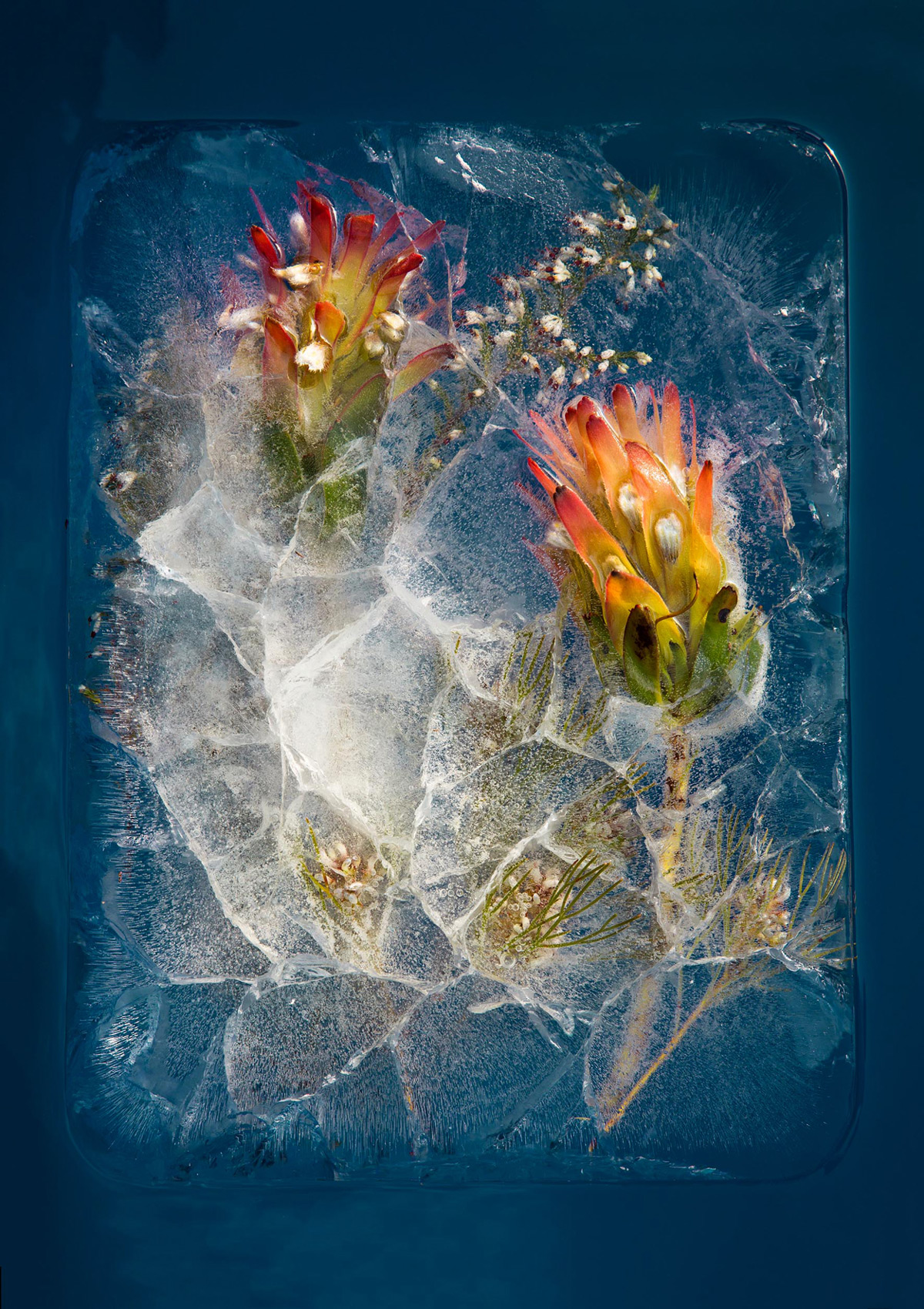 South African Flowers Frozen into Fleeting Arrangements
